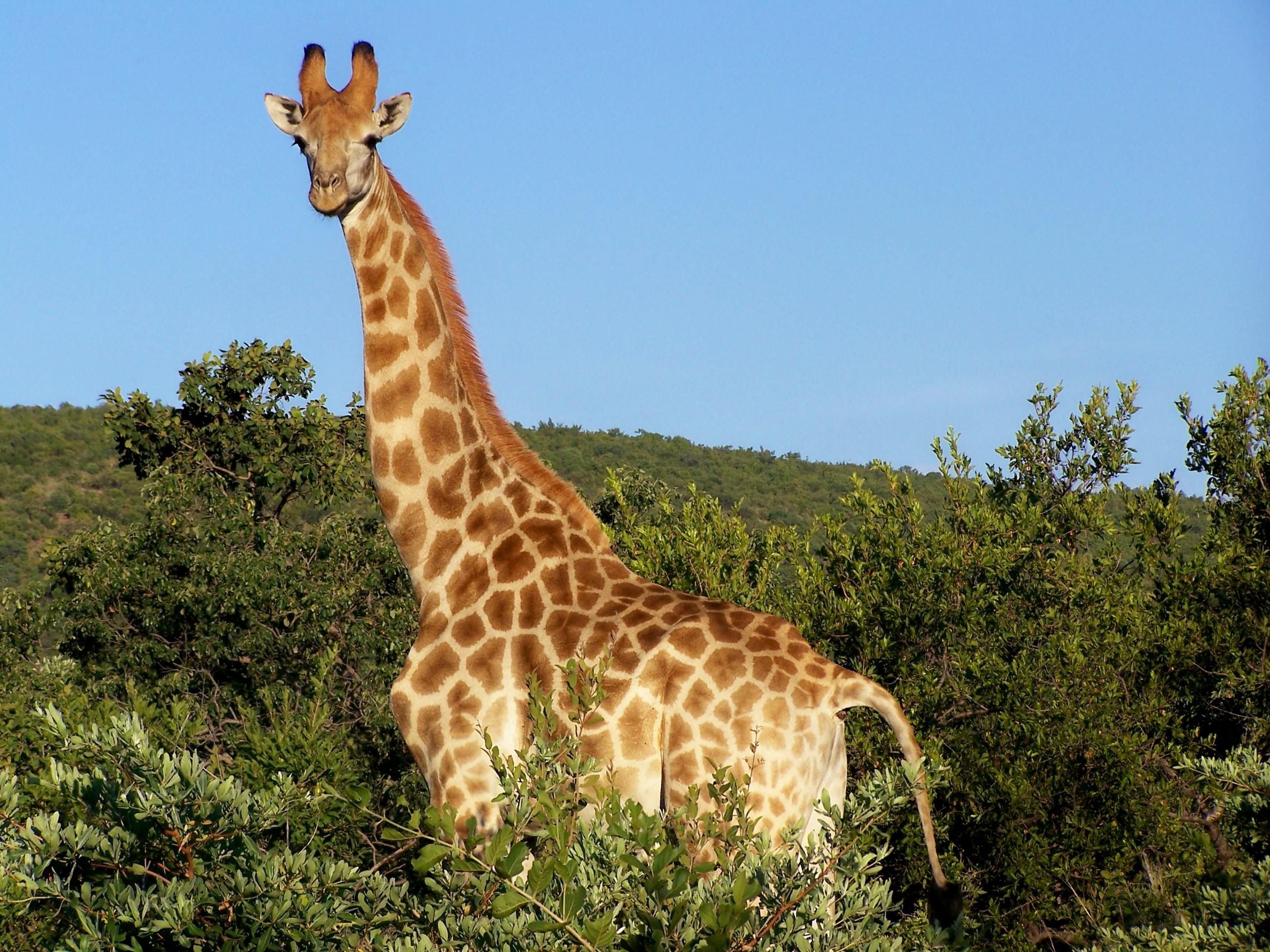 Giraffe auf Kwalata
